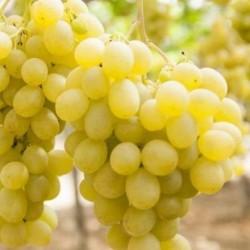 uva da tavola bianca